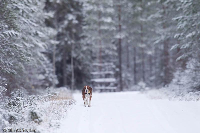 Jäniskoira lumisella metsätiellä.