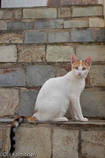 Kuva: kissa, kulkukisssa portailla , Kreeta, Kreikka, A cat in Crete.