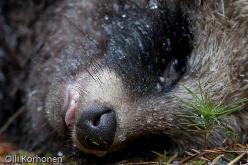 Road kill Raccoon dog