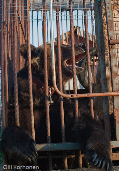 Caged bear in Russia