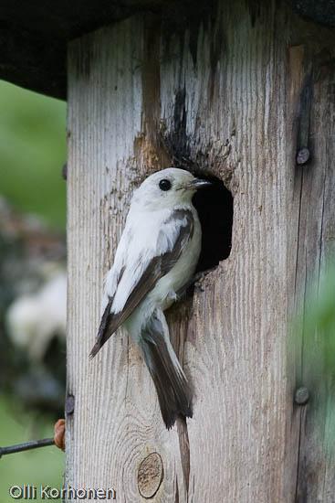 Leukistinen Kirjosieppo, leucistic pied flycatcher