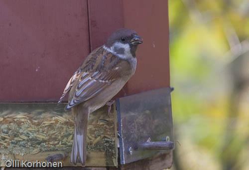 Leukistinen pikkuvarpunen, Leucistic tree sparrow