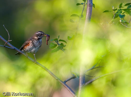Redwing with a worm.