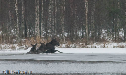 Kuva: Hirviperhe taistelee hukkumista vastaan.