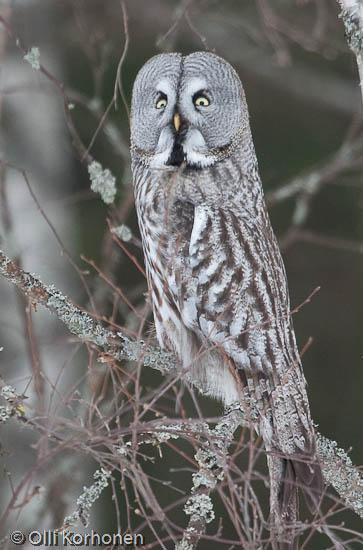 lapinpöllö, Great Grey Owl, Chouette lapone, Strix nebulosa, Lappuggla, Bartkauz