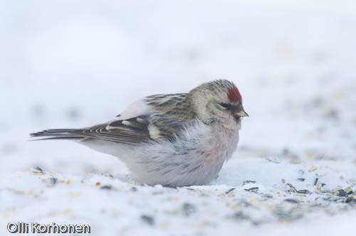 tundraurpiainen, arctic redpoll, sizerin blanchtre, carduelis hornemanni, snsiska