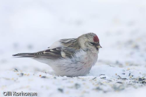 tundraurpiainen, arctic redpoll, sizerin blanchâtre, carduelis hornemanni, snösiska