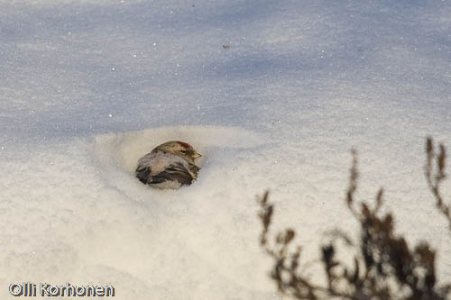 Picture of an Arctic Redpoll burrowing into the snow.