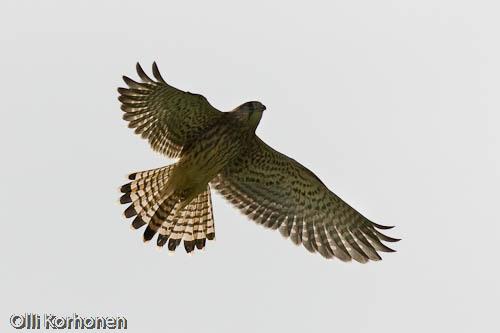 tuulihaukka, kestrel, faucon crécerelle, falco tinnunculus, tornfalk, photo, kuva