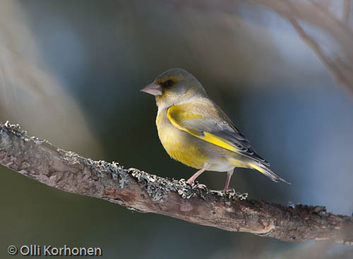 viherpeippo, greenfinch, verdier d'europe, carduelis chloris, grönfink, photo, kuva