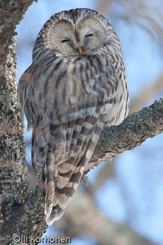 bird photography, viirupöllö, ural owl, chouette de l'oural, strix uralensis, slaguggla, kuva, photo