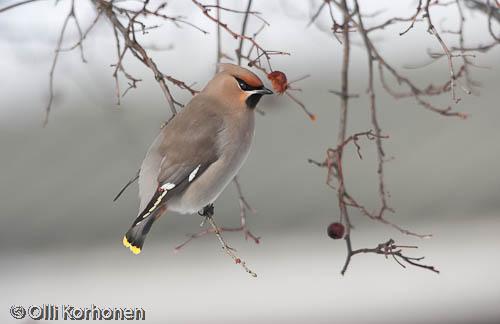 bird photography,tilhi, waxwing, jaseur boréal, bombycilla garrulus, sidensvans, kuva, photo