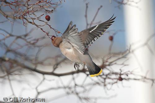 bird photography, tilhi, waxwing, jaseur boréal, bombycilla garrulus, sidensvans
