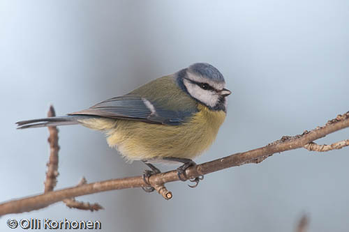 bird photography, sinitiainen, blue tit, mésange bleue, parus caeruleus, blåmes, photo, kuva