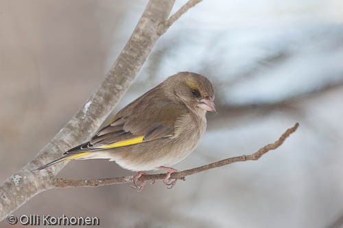 bird photography, viherpeippo, greenfinch, verdier d'europe, carduelis chloris, grönfink, photo, kuva
