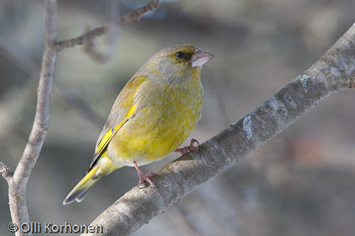 bird photography, viherpeippo, greenfinch, verdier d'europe, carduelis chloris, grönfink, kuva, photo, foto