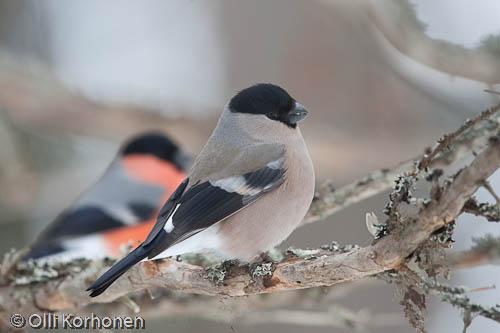 punatulkku, bullfinch, bouvreuil pivoine, pyrrhula pyrrhula, domherre, photo, kuva, bird photography