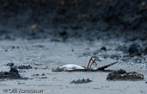 Kuollut räkäkättirastas jätevedenpuhdistamolla.