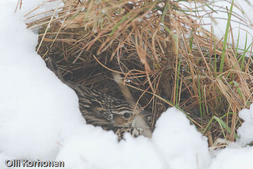 Kangaskiuru lämmittää poikasiaan lumen alle jääneessä pesässä.