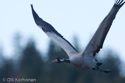 Lentävä kurki lähikuvassa, common crane, grue cendrée, grus grus, trana, Kranich, lentää, flight, kuva, photo