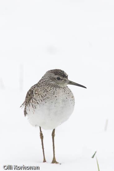Takatalven yllättämä liro lumisella pellolla.