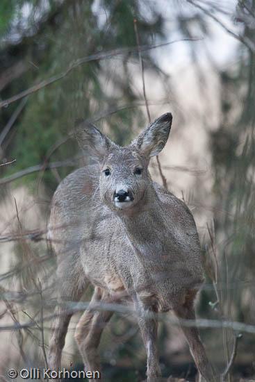 Metsäkauris tuijottaa.