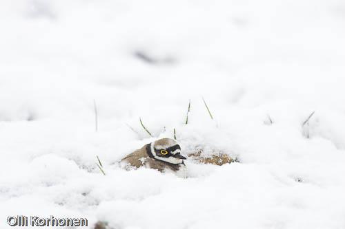 Pikkutylli hautoo lumessa.