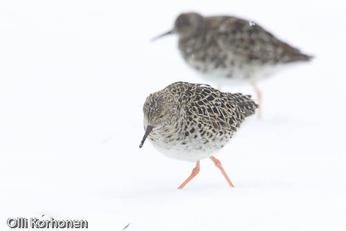 Takatalven yllättämiä suokukkoja lumisella pellolla.