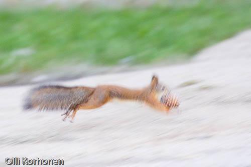 kuva, orava, squirrel, red squirrel, écureuil, Sciurus vulgaris, ekorre, Eichhörnchen, photo