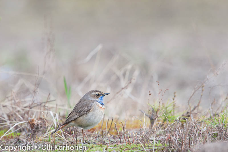 sinirinta, bluethroat, Gorgebleue à miroir