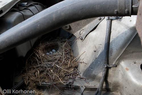 Västäräkin, linnun pesä auton, autossa, moottoritilassa.