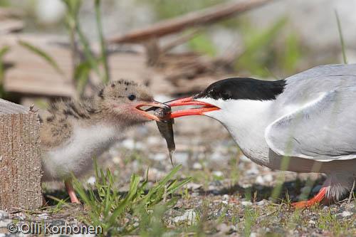 Kalatiira ruokkii poikastaan