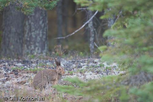 jänis,epus, hare, Hase, lièvre, kuva, photo