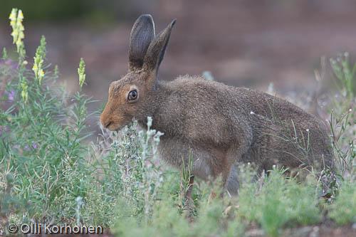 Jänis, lièvre, hare, Hase, ruoho, grass. kuva, photo
