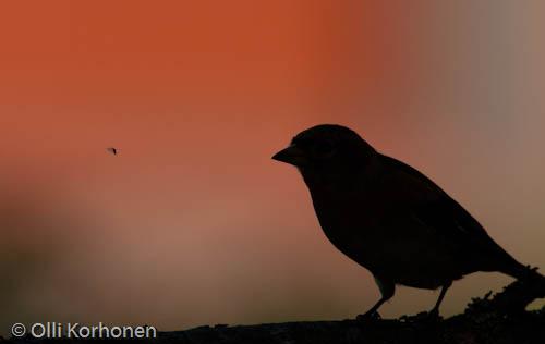 Kuva. Järripeippo. Vastavalo. Lintu. Punainen. Hyönteinen. Lentää.