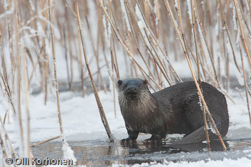 Photo: Otter on the edge of the ice.