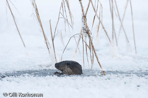 Photo: Otter peeps out of a hole in the ice.