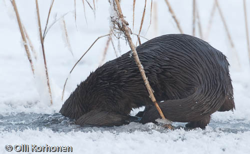 Photo: Otter dives into a hole in the ice.