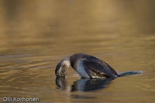Kuva: Alli hyppää ilmaan ja sukeltaa. Hyppysukellus.