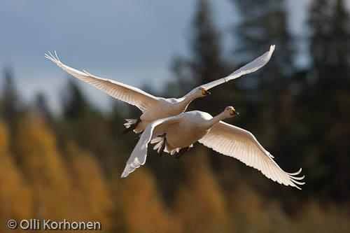 Kuva: Laulujoutsenpari lentää yhdessä.
