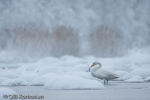 Kuva: Laulujoutsen talvisella joella.