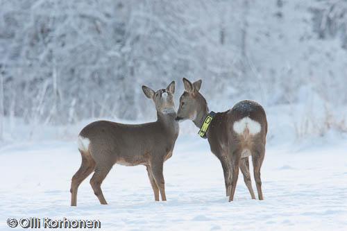 Kuva: Metsäkauris nauttii hellydestä.