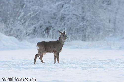 Kuva: Metsäkauriin vasa lumihangella.
