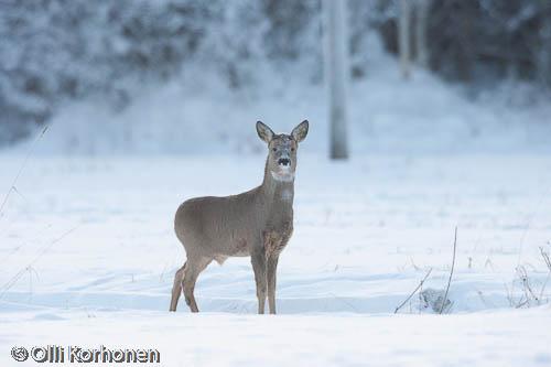 Kuva: Metsäkauris lumisella tiellä.