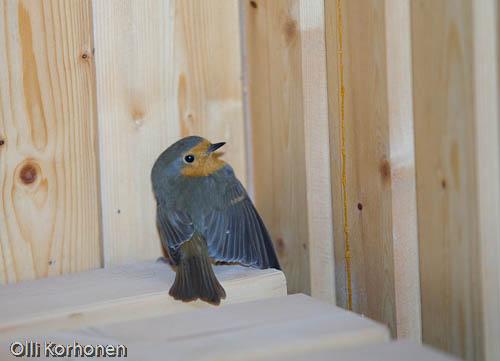 Kuva: Punarinta lämmittelee saunassa. Foto: A Robin in a sauna.