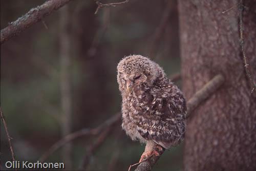 Kuva: Viirupöllön poikanen odottaa emonsa tuovan ruokaa kuusimetsässä.
