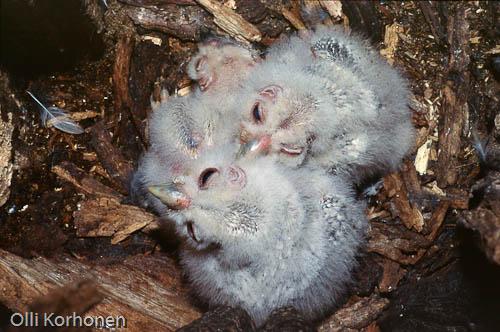 Kuva: Viirupöllön poikasia pesäkolossaan.