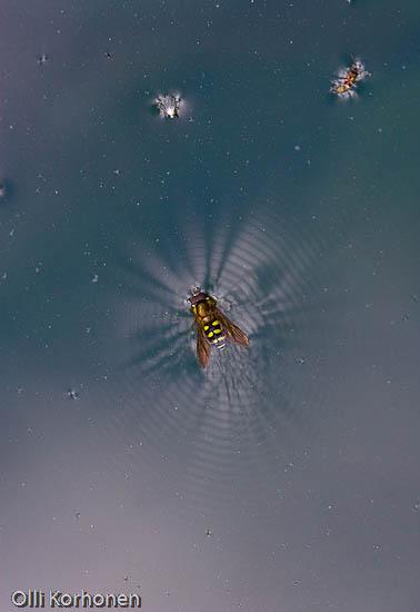 Kuva: Kukkakärpänen avaruudessa.