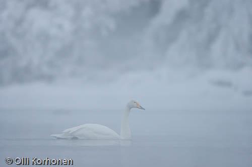 Kuva: Laulujoutsen huurteisella joella jouluna.