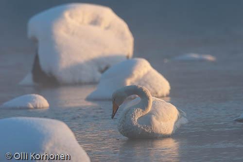 Kuva: Laulujoutsen talvella koskessa lumisten kivien keskellä.